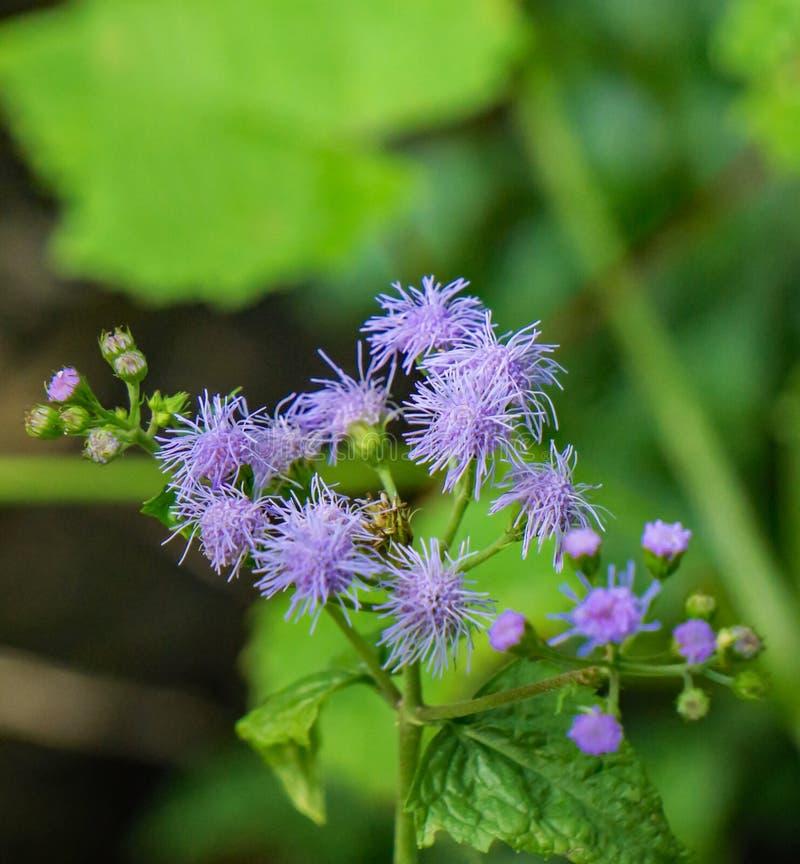 Conjunto de Mistflowers azul fotografia de stock