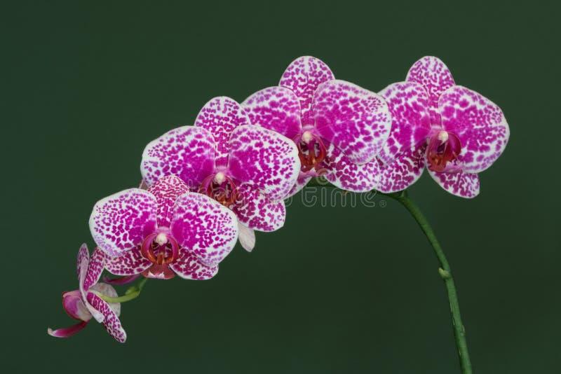 Conjunto de orquídeas roxas e brancas imagens de stock royalty free