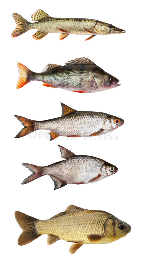 Conjunto de pescados de agua dulce fotografía de archivo libre de regalías