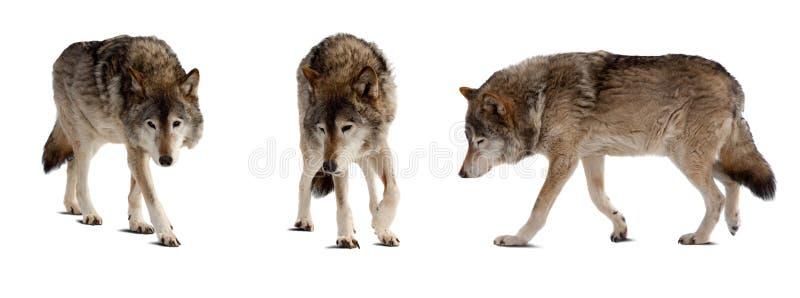 Conjunto de pocos lobos sobre blanco imagenes de archivo