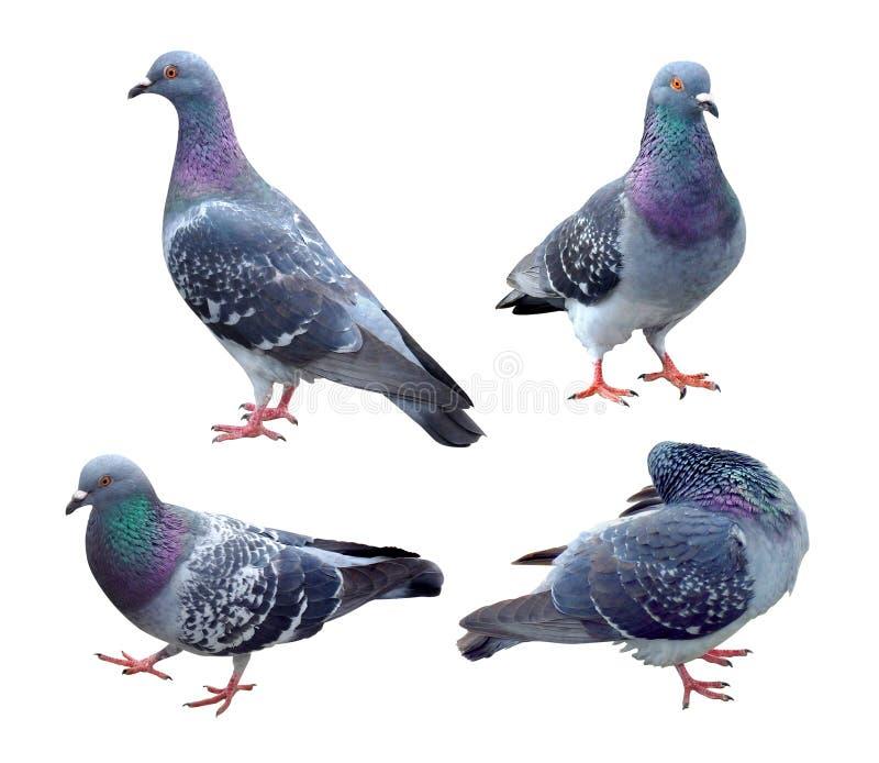 Conjunto de pombo azul isolado em fundo branco com caminho de recorte Grupo de aves-pomba-de-estimação que caminham sobre o solo fotografia de stock