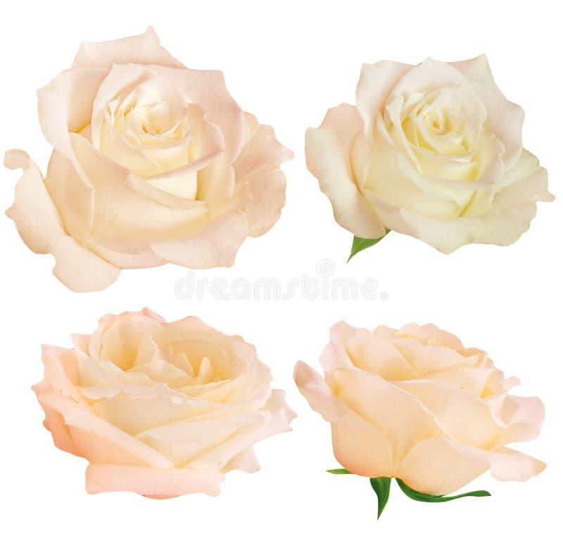 Conjunto de rosas frescas aisladas foto de archivo