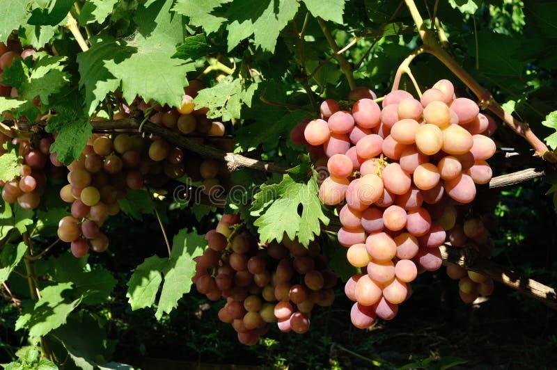 Conjunto de uva cor-de-rosa na videira fotos de stock royalty free