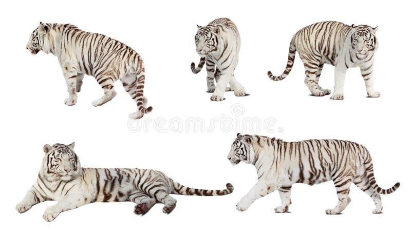 Conjunto del tigre blanco. sobre blanco imagen de archivo