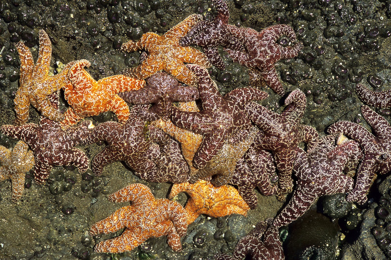 Conjunto dos Starfish fotografia de stock royalty free
