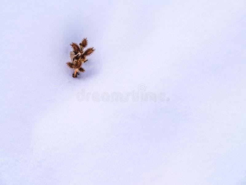 Conjunto espinhoso da vagem da semente na neve foto de stock royalty free