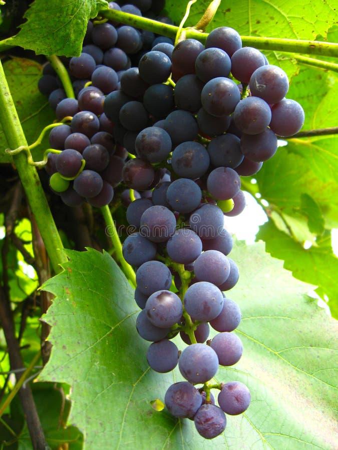 Download Conjunto Grande De Uvas Azuis Foto de Stock - Imagem de uvas, liane: 26522454