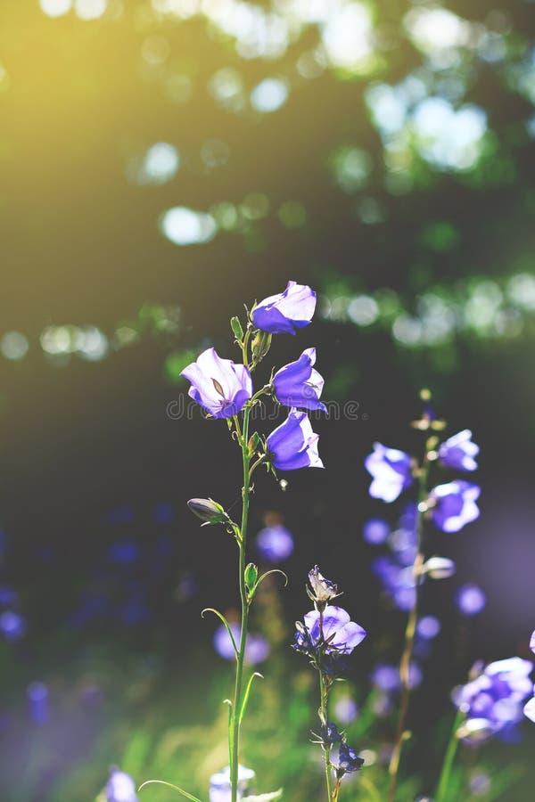Conjunto tonificado de persicifolia grande da campainha ou da campânula, fotos de stock royalty free