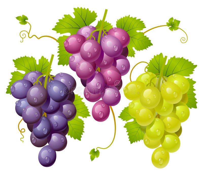Conjunto três de uvas ilustração do vetor