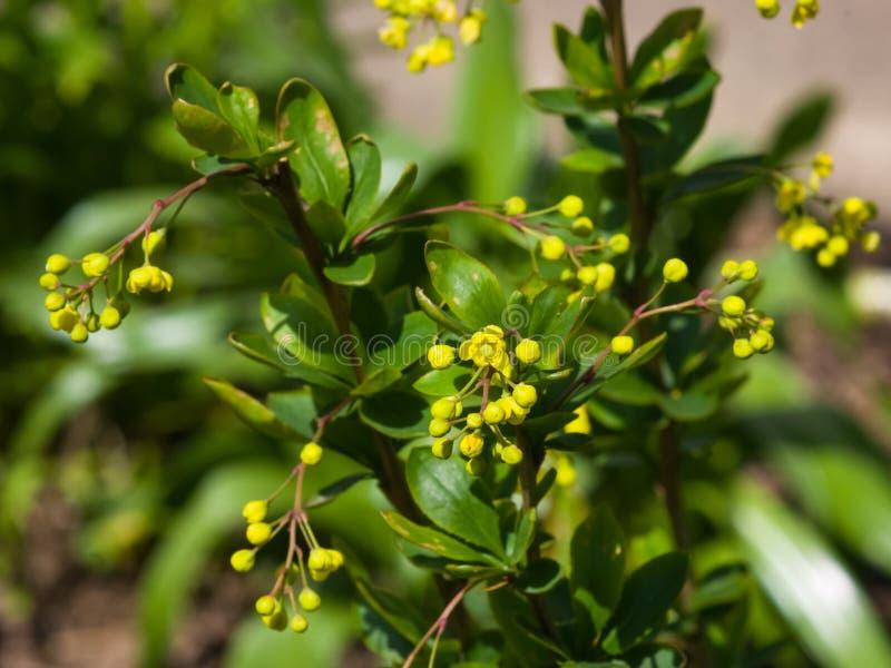 Conjuntos de flores amarelos na florescência close-up vulgar do Berberis comum ou europeu da bérberis, foco seletivo, DOF raso imagens de stock royalty free