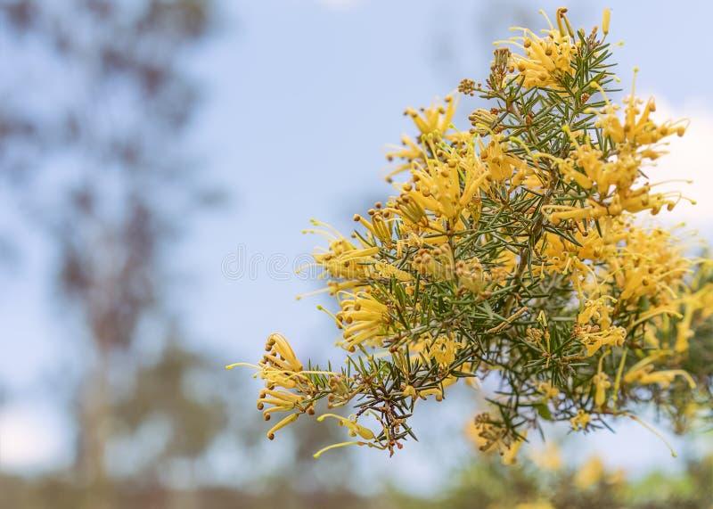 Conjuntos de flores de Grevillea do australiano imagem de stock royalty free