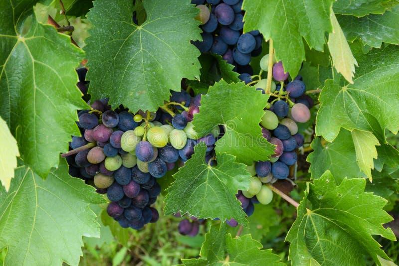 Conjuntos de uvas frescas do vinho tinto que crescem entre a vinha e as folhas verdes fotos de stock royalty free