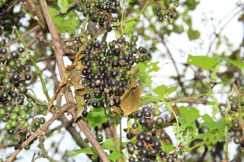 Conjuntos de uvas selvagens na videira fotos de stock