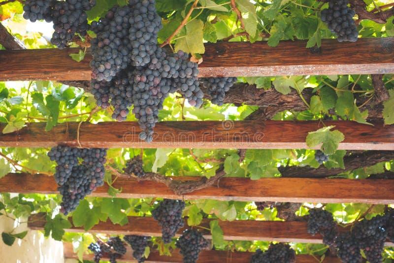 Conjuntos de uvas vermelhos maduros que penduram em feixes de madeira, vinhas fotografia de stock royalty free