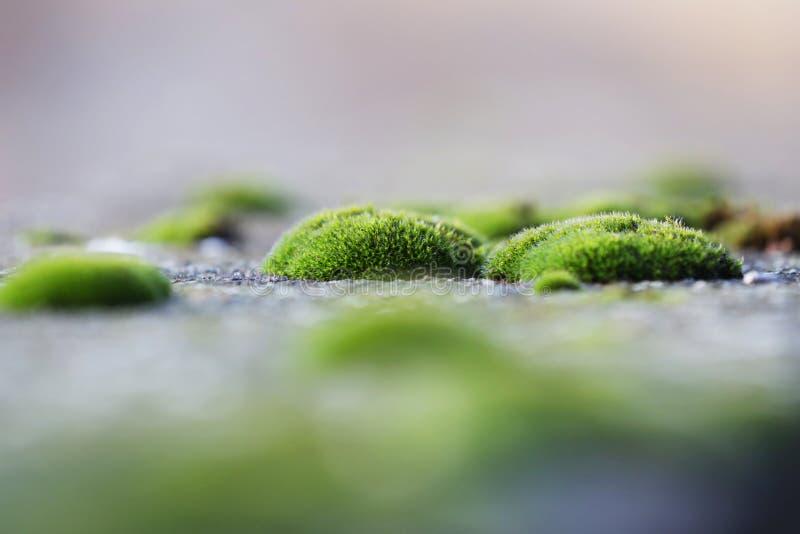 Conjuntos do musgo no pavimento fotografia de stock royalty free
