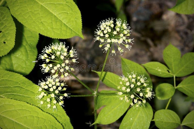 Conjuntos esféricos das flores brancas do hobblebush em Hampshi novo imagem de stock