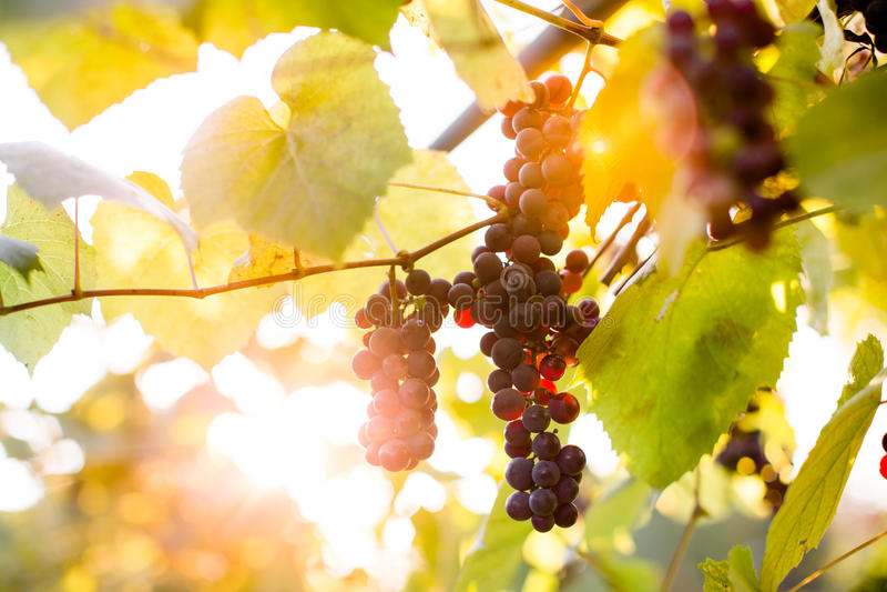 Conjuntos roxos da uva imagem de stock