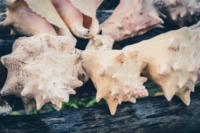 Conk łuska, dennego ślimaczka skorupy kolekcja, urlopowy tło - zdjęcia royalty free