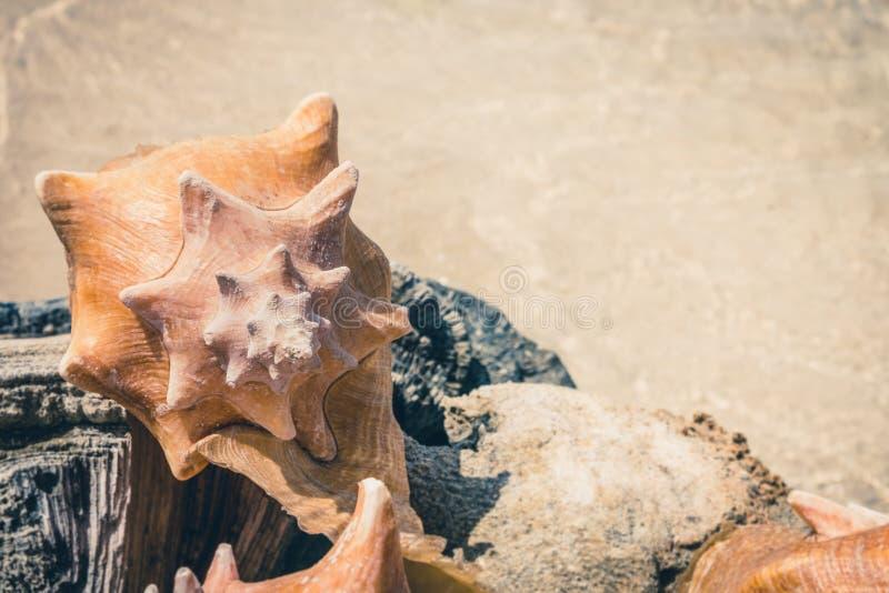 Conk łuska, dennego ślimaczka skorupy kolekcja z plażowym tłem obrazy stock
