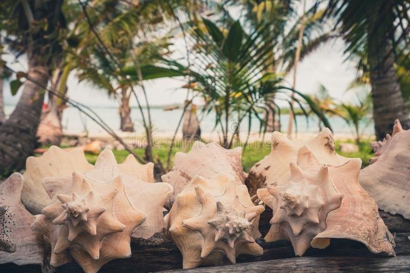 Conk łuska, dennego ślimaczka skorupy kolekcja z plażowym tłem obrazy royalty free
