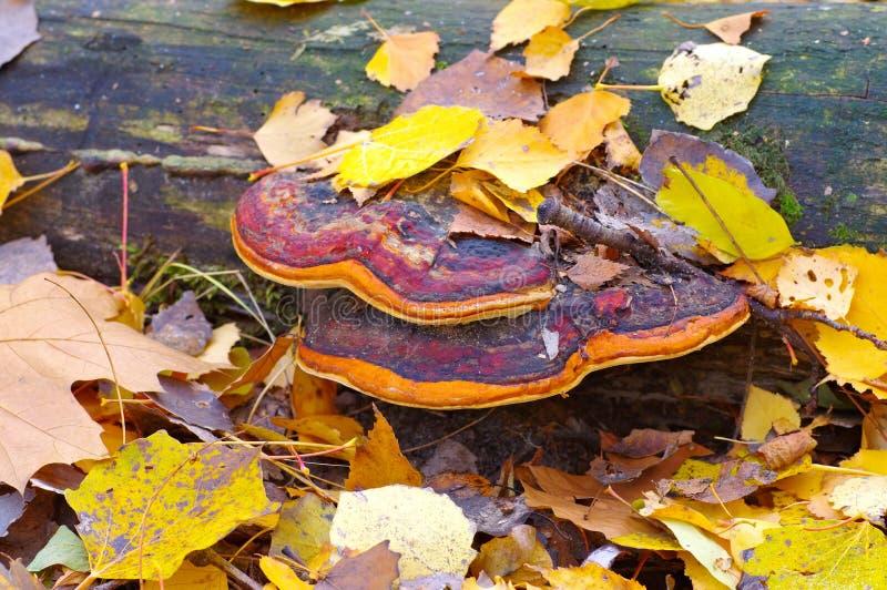 Conk da correia ou pinicola vermelho de Fomitopsis na floresta imagens de stock