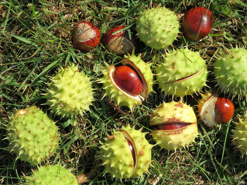 Download Conker stock image. Image of nature, texture, closeup - 26727471