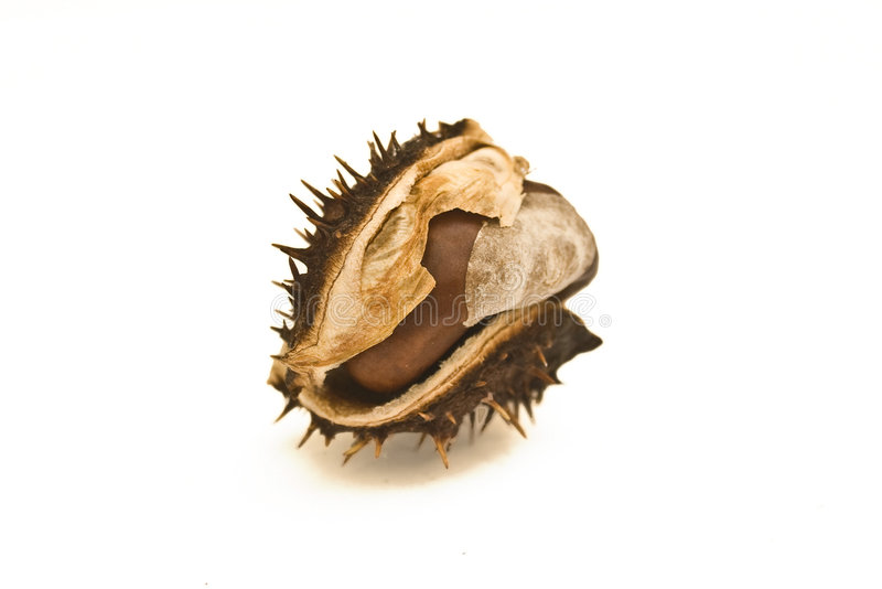 Conker royalty free stock image