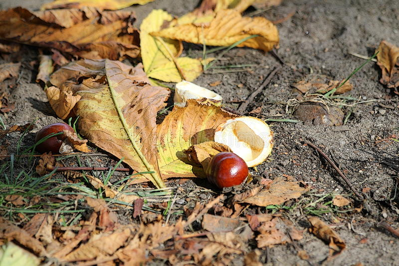 Conker autumn. Conker, horse chestnut with leaves, autum royalty free stock photography