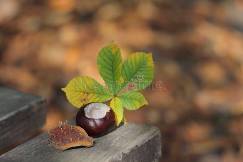 Conker och bladet på bänk i höst parkerar royaltyfria foton