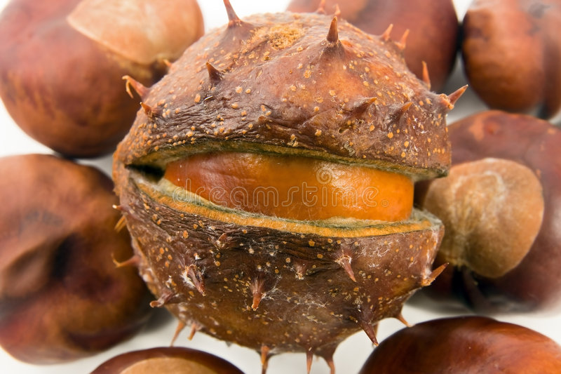 Download Conkers stock photo. Image of foetus, many, aesculus, closeup - 6798238