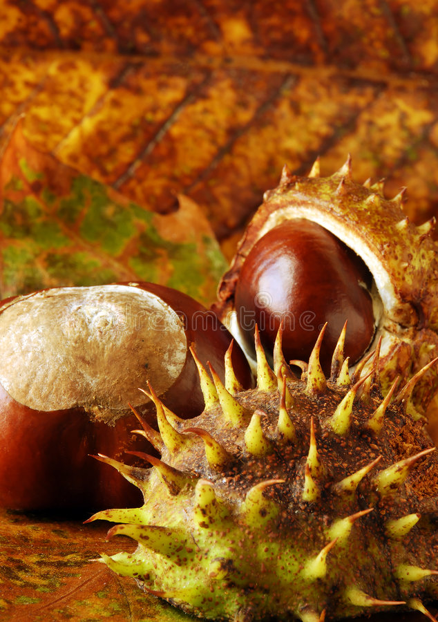 Download Conkers and leaves stock image. Image of closeup, conker - 3139763