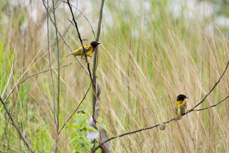 Conkouati fågel, Ploceuscucullatus, Kongofloden fotografering för bildbyråer