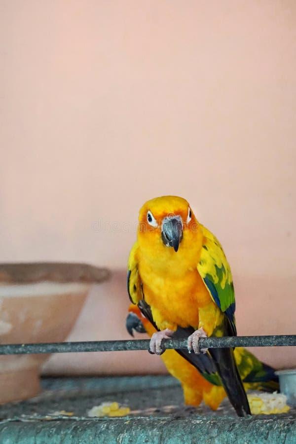 Conlorful Papagei Sunconure lizenzfreies stockfoto