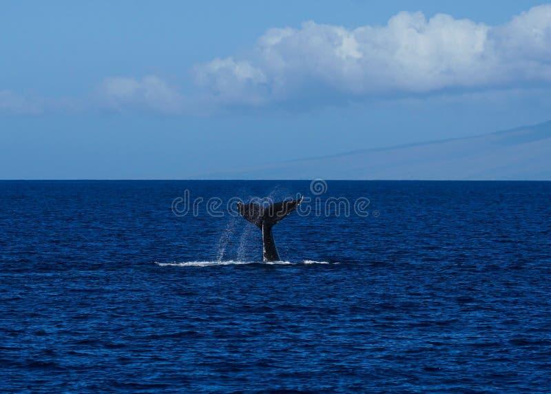 Conmutación de lóbulos grande de la cola de la ballena jorobada fotografía de archivo libre de regalías