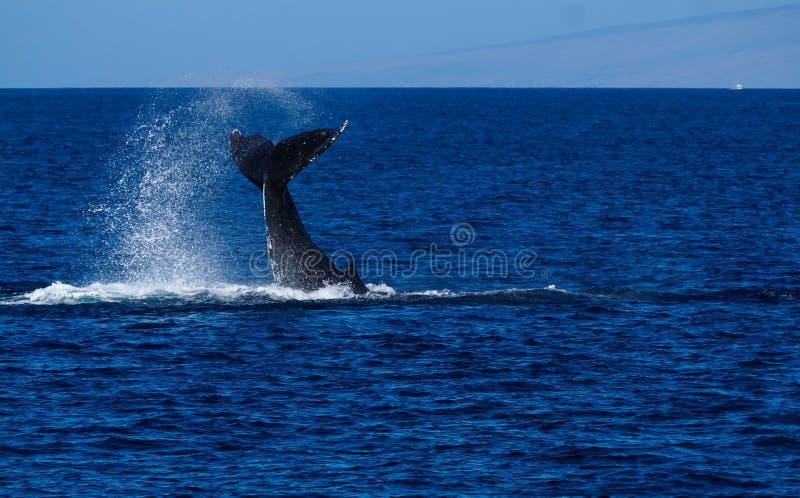 Conmutación de lóbulos grande de la cola de la ballena jorobada foto de archivo