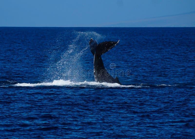 Conmutación de lóbulos grande de la cola de la ballena jorobada imagen de archivo libre de regalías
