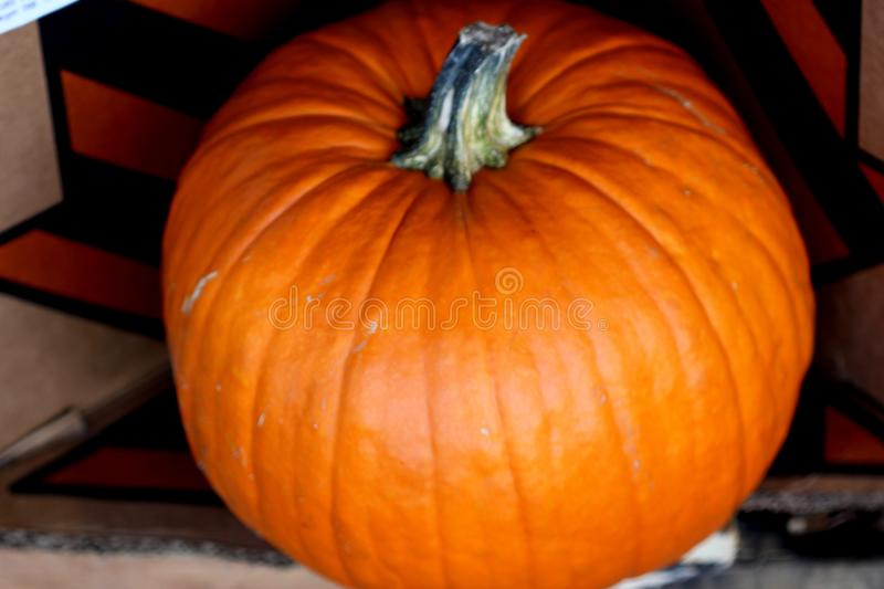 Connecticut Field Pumpkin, Cucurbita pepo. Medium size orange pumpkins with small ribs, best suited for autumn decoration, jack-o`-lanterns and cooking stock image