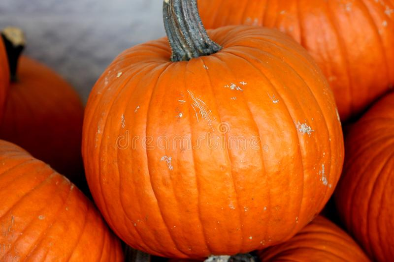 Connecticut Field Pumpkin, Cucurbita pepo. Medium size orange pumpkins with small ribs, best suited for autumn decoration, jack-o`-lanterns and cooking royalty free stock photography