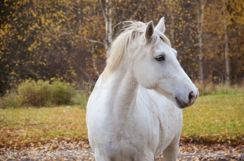 Connemara ponny arkivfoto