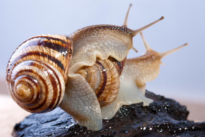 Connubium of snails royalty free stock images