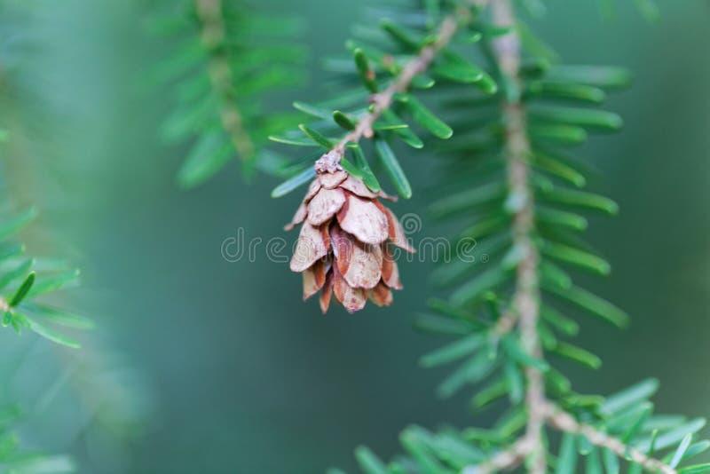 Cono de un heterophylla del Tsuga de la cicuta occidental imagen de archivo libre de regalías