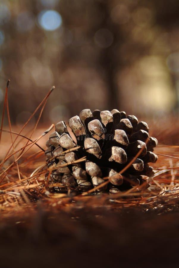 Cono de un pino del montery fotografía de archivo