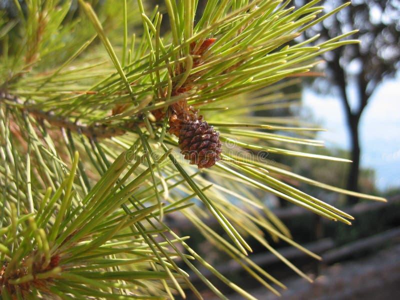 Download Cono del pino imagen de archivo. Imagen de hojas, pino - 182573
