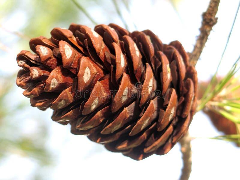 Download Cono del pino fotografia stock. Immagine di alberi, filiale - 212136