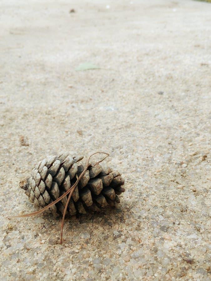Cono del pino foto de archivo libre de regalías