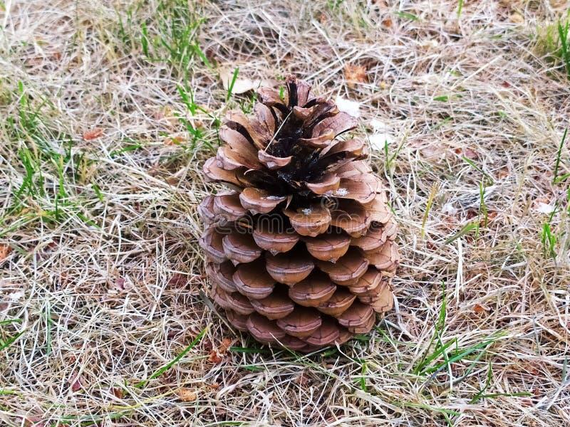 Cono del pino de Brown en el campo foto de archivo libre de regalías