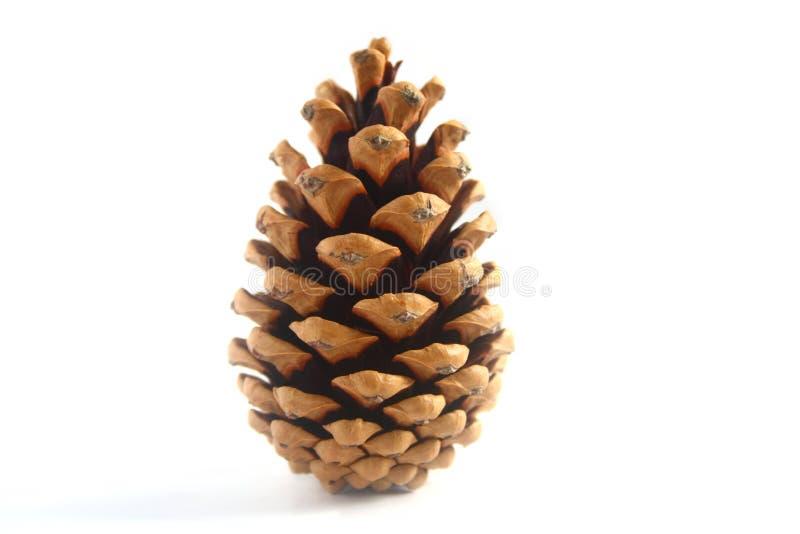 Cono del pino de la conífera fotografía de archivo libre de regalías