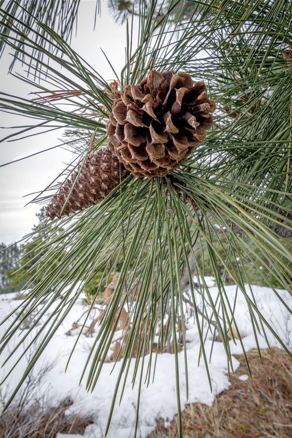 Cono del pino de la supervivencia del invierno con nieve imagen de archivo libre de regalías