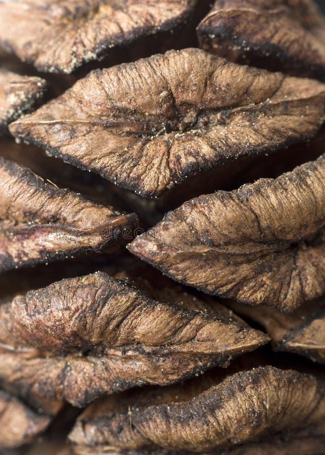 Cono del pino della sequoia immagine stock