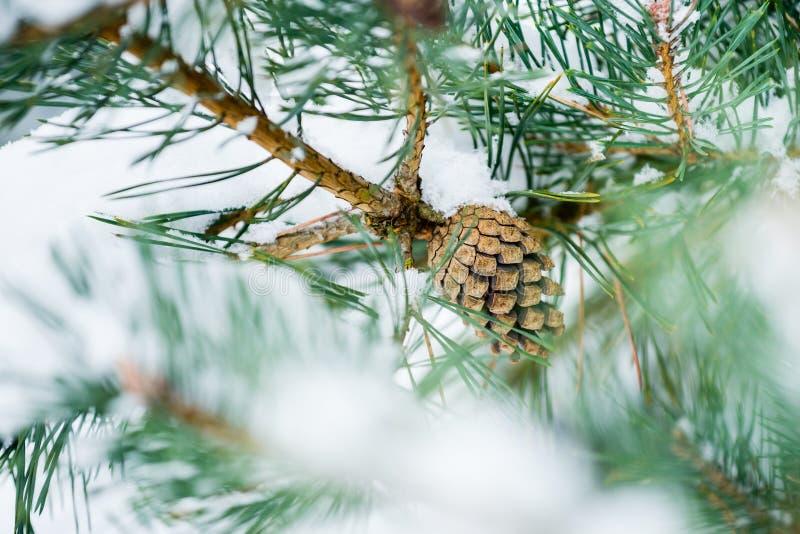 Cono del pino en el árbol cubierto con nieve fresca fotografía de archivo libre de regalías